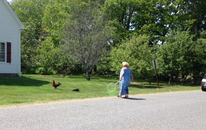 chicks cross road; stops traffic