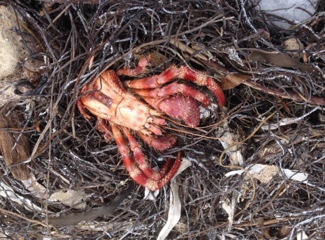 A deceased, out of his shell, hermit crab