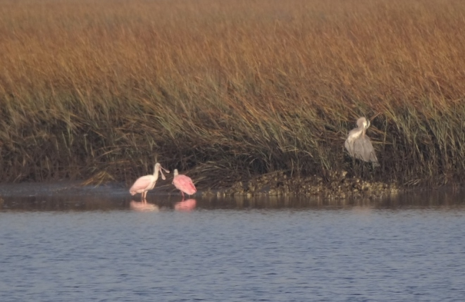 Heron doesnt mean to ntrude on courting Roseate Spoonbills