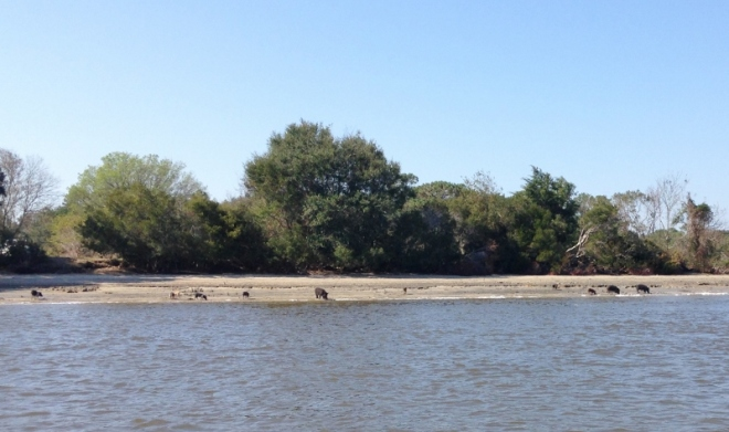Pigs on the Stono River as we head down to the BIG beach