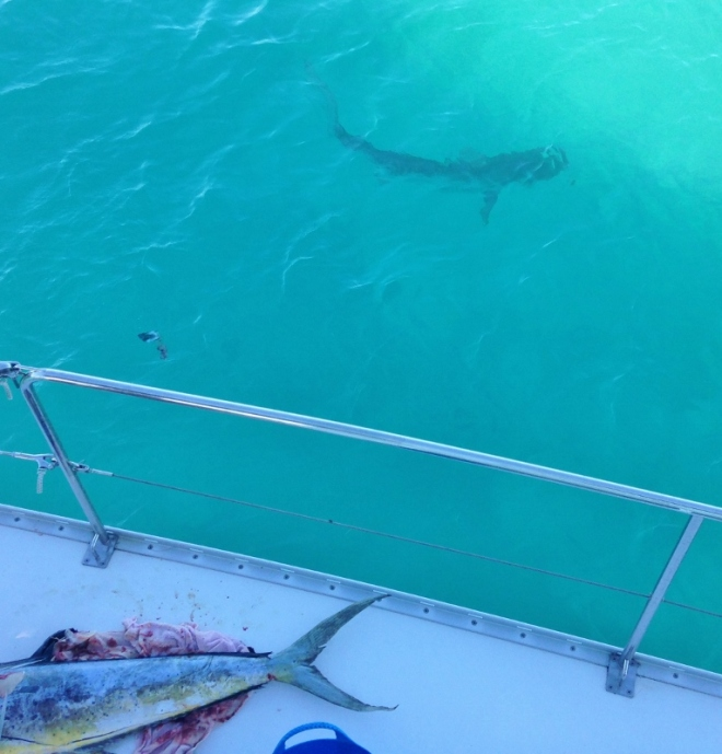 A Lemon Shark checks out the catch but we don't see him eat the scraps